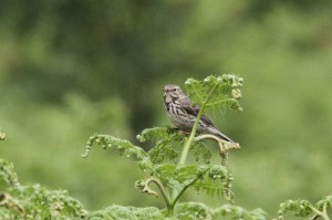 Meadow Pippit